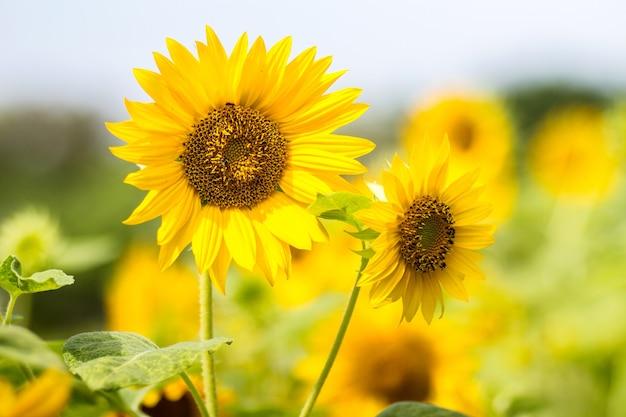 Schöne sonnenblume groß gelb