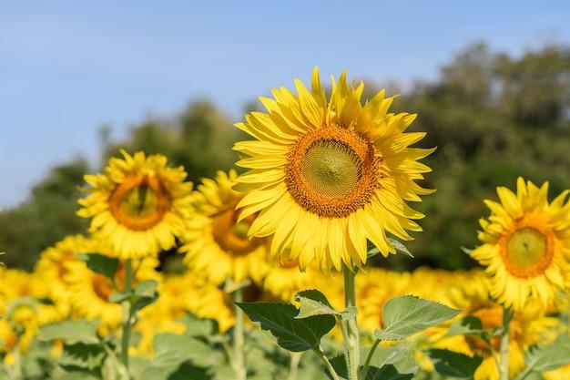 Schöne sonnenblume im sonnenblumenfeld auf sommer mit blauem himmel bei lop buri provinz