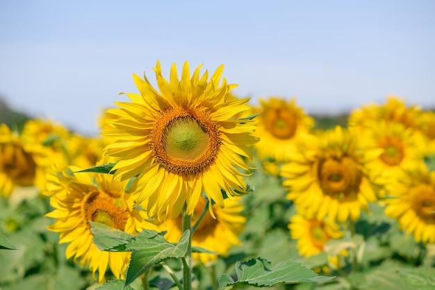 Schöne sonnenblume im sonnenblumenfeld auf sommer mit blauem himmel