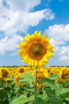 Schöne sonnenblume mit grünen blättern