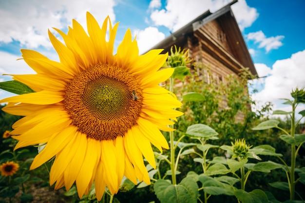 Schöne sonnenblumen am haus und am himmel