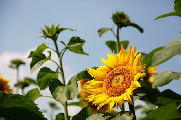 Schöne sonnenblumen auf dem gebiet mit hellem blauem himmel