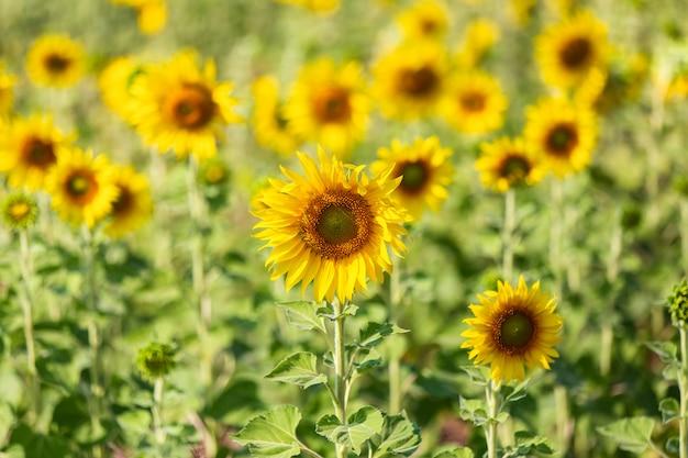 Schöne sonnenblumen im frühlingsfeld