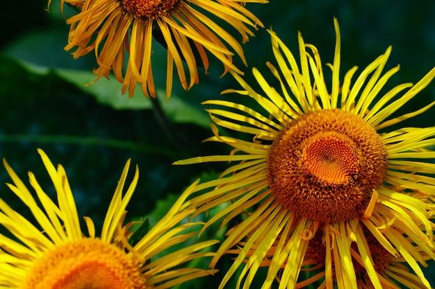 Schöne sonnenblumen im garten