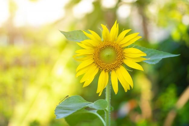 Schöne sonnenblumen im garten.