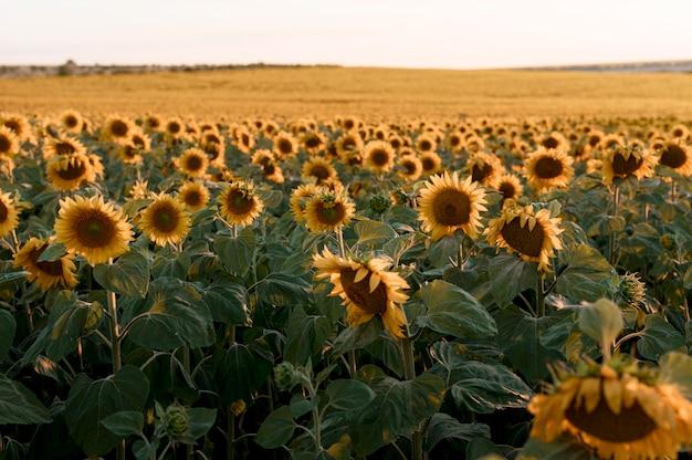 Schöne sonnenblumenfeldlandschaft