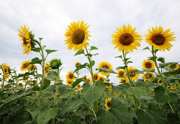 Schöne sonnenblumennahaufnahme auf einem hintergrund eines feldes mit gelben blumen