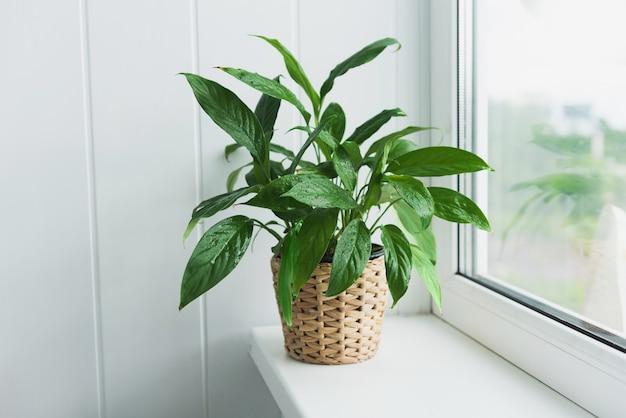 Schöne spathiphyllum-pflanze auf einem fensterbrett. wohnkultur