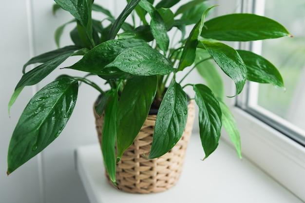 Schöne spathiphyllum-pflanze auf einem weißen fensterbrett. wohnkultur