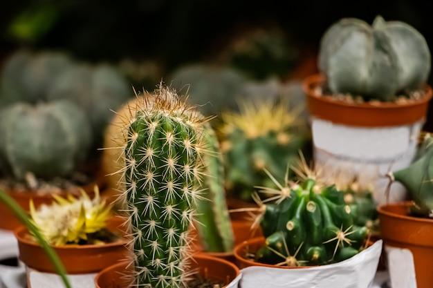 Schöne sukkulenten in töpfen. blühende kaktus-nahaufnahme.