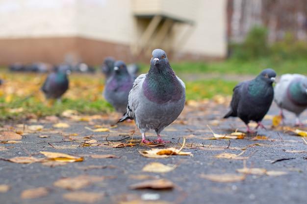 Schöne taube mit schillernder farbe auf dem bürgersteig in der städtischen umgebung im herbst. herbsturlaub. pigeon schaut in die kamera