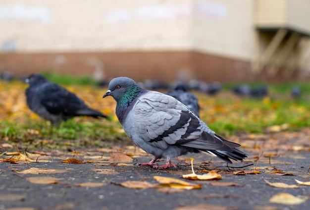 Schöne taube mit schillernder farbe auf dem bürgersteig in der städtischen umgebung im herbst. herbsturlaub. seitenansicht