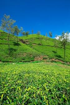 Schöne teeplantage