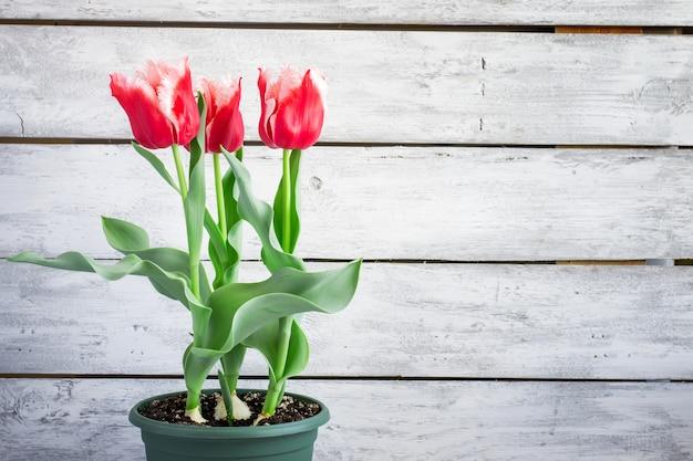 Schöne terry-tulpen zu hause gewachsen in einem topf, kopienraum