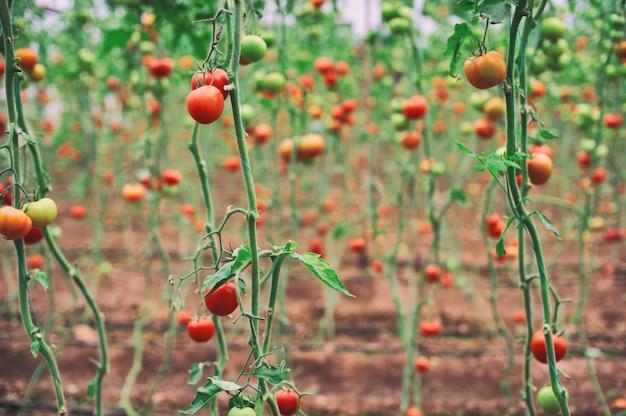 Schöne tomatenpflanze auf zweig im gewächshaus im vordergrund, organische tomaten
