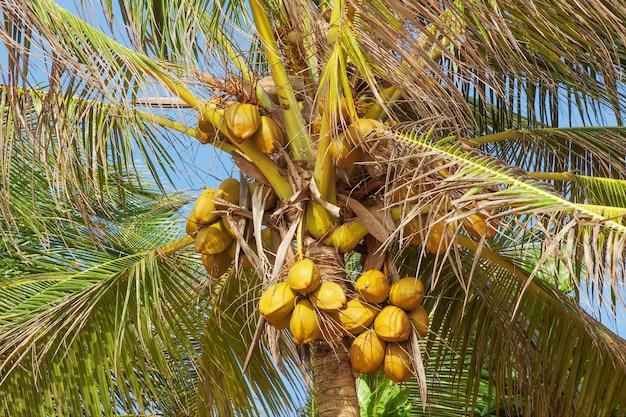 Schöne tropische kokospalme auf einem himmelshintergrund extreme nahaufnahme