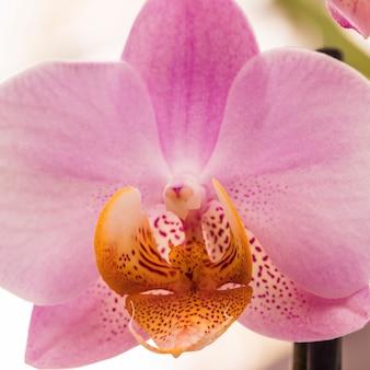 Schöne tropische rosafarbene frische blume mit gelbem stempel
