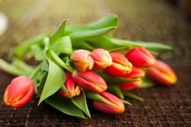 Schöne tulpen in einem gewächshaus gewachsen