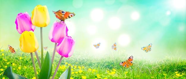 Schöne tulpen und schmetterlinge. frühlingsnaturhintergrund