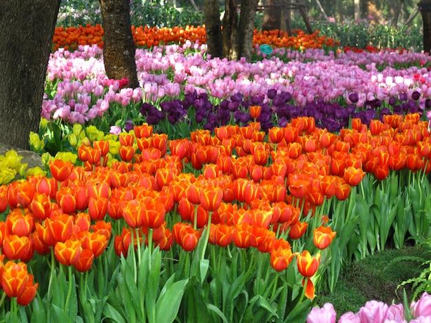 Schöne tulpenblumen, die im garten blühen