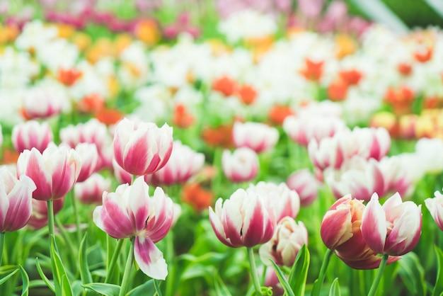 Schöne und bunte tulpen im garten