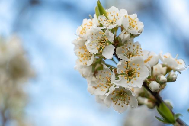 Schöne und frische frühlingsblütenbaumzweige