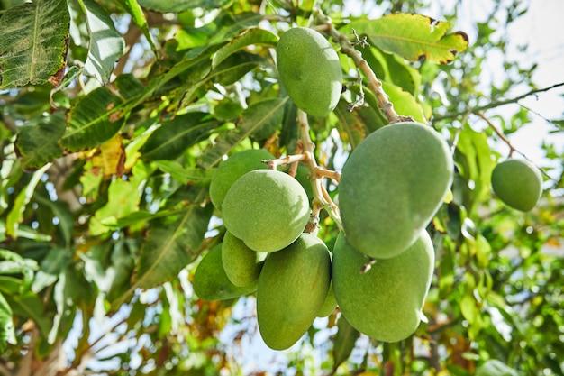 Schöne und frische grüne unreife mangos auf einem ast im sommer gegen den blauen himmel