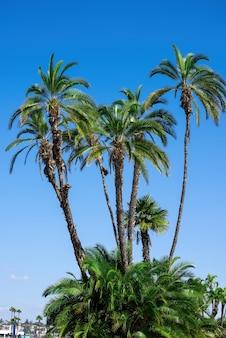 Schöne und hohe palmen in san diego