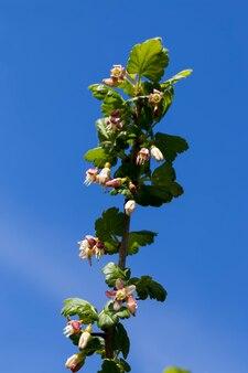 Schöne ungewöhnliche blumen stachelbeersträucher im garten, obstgarten, blühende stachelbeeren im sommer von einer biene bestäubt
