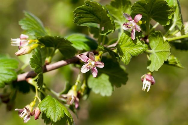 Schöne ungewöhnliche blumen stachelbeersträucher im garten, obstgarten, blühende stachelbeeren im sommer