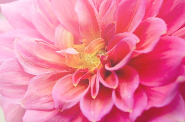 Schöne unscharfe rosa chrysantheme