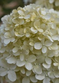 Schöne vertikale nahaufnahme der weißen hortensien