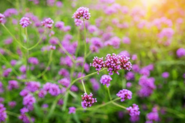 Schöne violette eisenkrautblumen