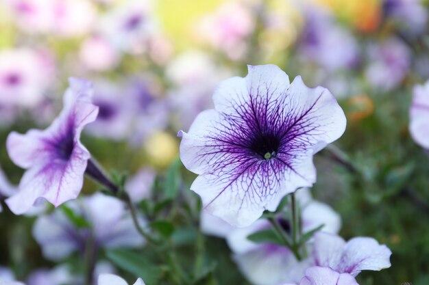 Schöne violette ipomoea blumen draußen im park
