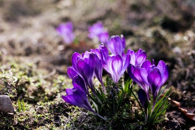 Schöne violette krokusse im garten.