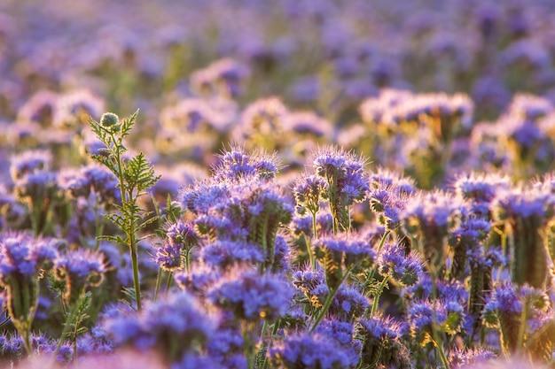 Schöne violette phacelia blüht in seiner blüte