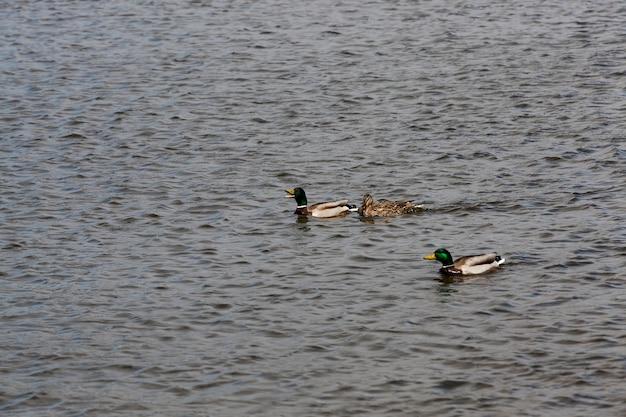 Schöne wasservogelenten im wasser, schwimmende wildenten im wasser des sees oder flusses, wildenten, die auf dem see schwimmen