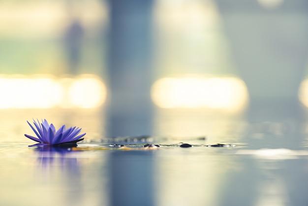 Schöne waterlily oder lotosblume im teich.