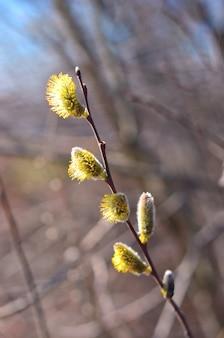 Schöne weidenkätzchenblumenzweige. osterferien sonntag.
