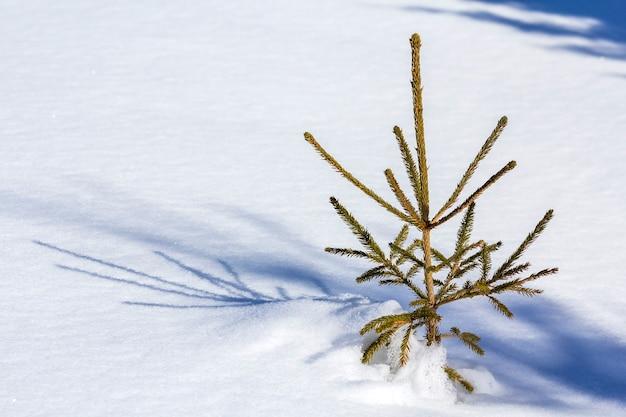 Schöne weihnachtswinterlandschaft. kleine junge grüne zarte tannenbaumfichte, die allein im tiefschnee am berghang am kalten sonnigen frostigen tag auf klarem hellweißem kopierraumhintergrund wächst.