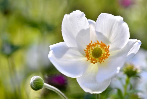 Schöne weiße anemone