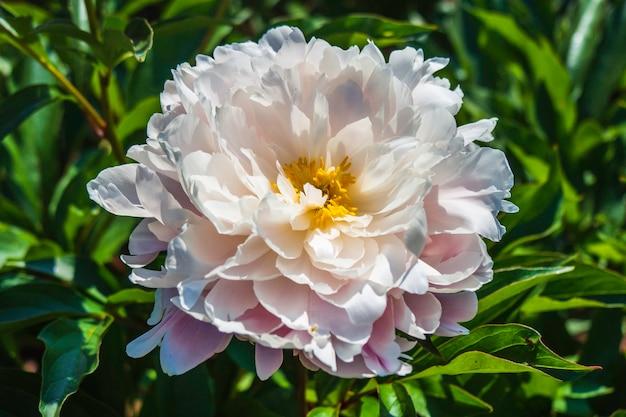 Schöne weiße blume, die im garten mit blatthintergrund blüht