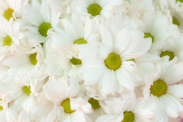 Schöne weiße chrysantheme blüht hintergrund