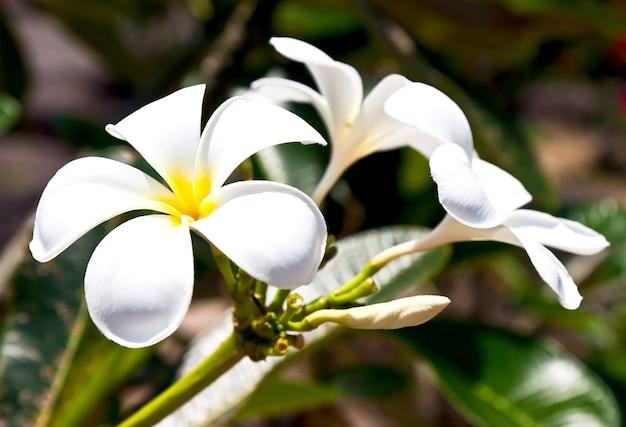 Schöne weiße frangipani-blüten auf dunklem hintergrund