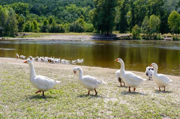 Schöne weiße gänse. ein vogelschwarm am flussufer. hauswasservögel. vogelschwarm, der nach hause zurückkehrt.