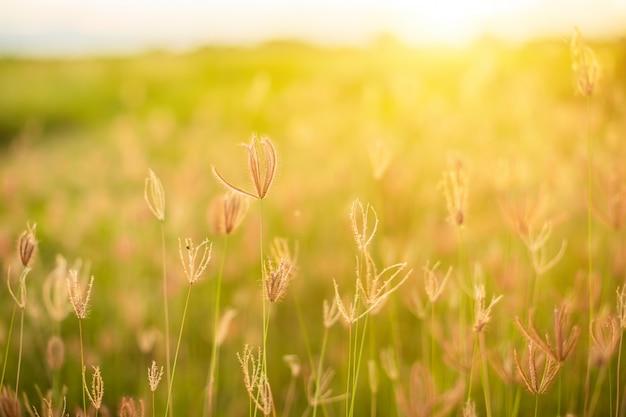 Schöne weiße grasblumen in der sonnenaufgangzeit