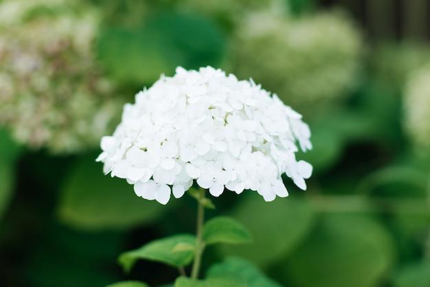 Schöne weiße hortensienblume im sommergarten