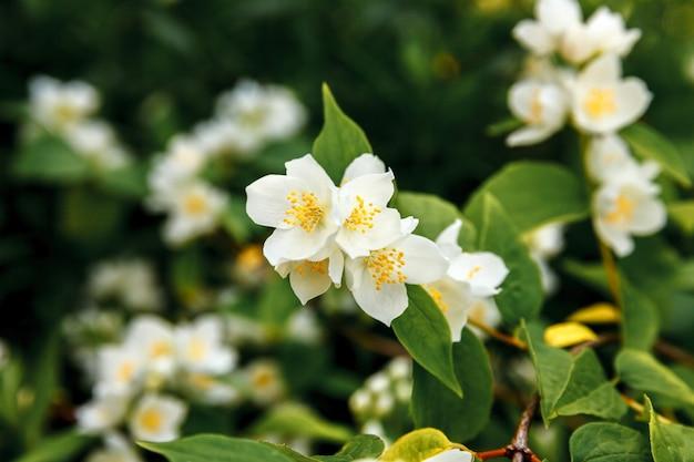 Schöne weiße jasminblüte blüht im frühling.