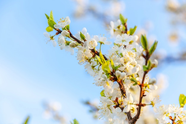 Schöne weiße kirschblüten-sakura blüht im frühling. inspirierender natürlicher blühender garten oder park der blumen. blumenkunstdesign.
