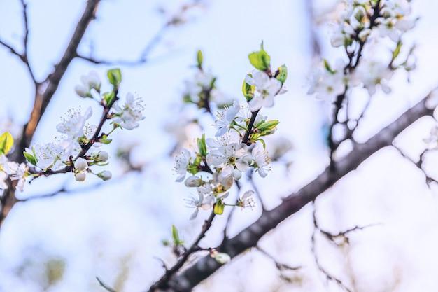 Schöne weiße kirschblüten-sakura blüht im frühling. natur mit blühendem kirschbaum. inspirierender natürlicher blühender garten oder park der blumen. blumenkunstdesign.